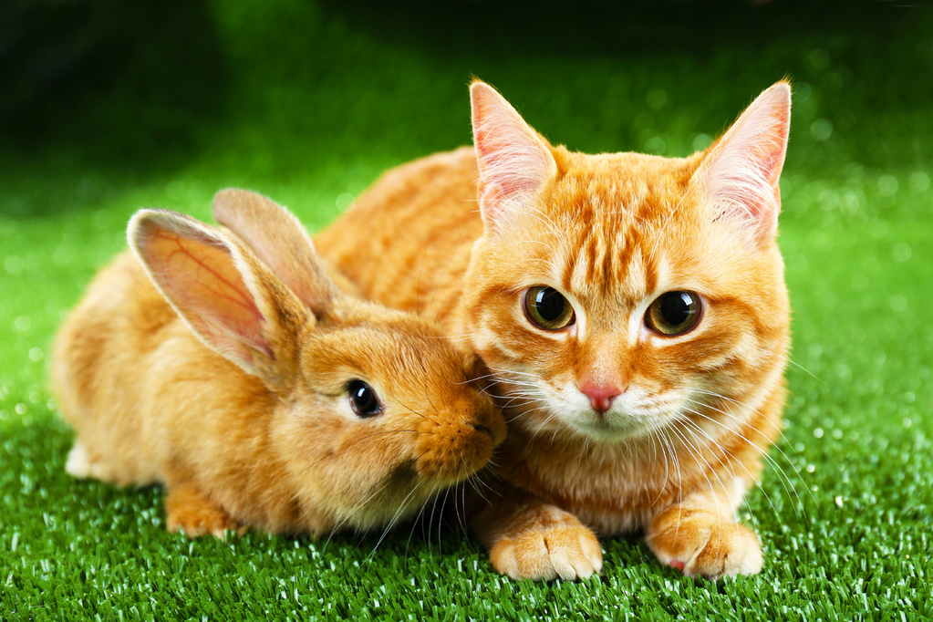 chat lapin