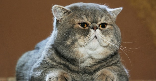 chat obese