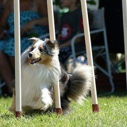 chien agility