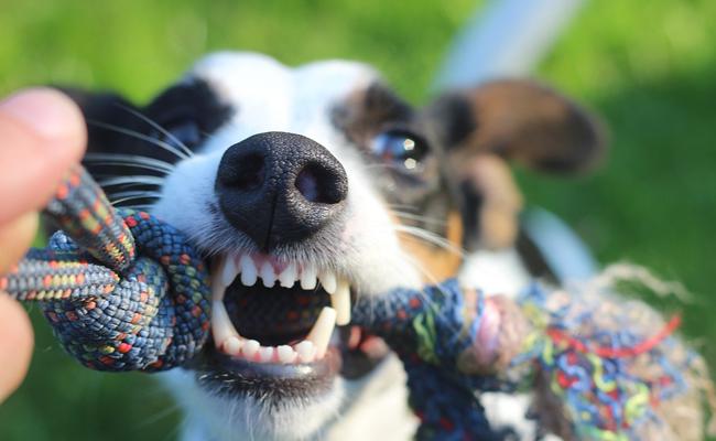 dent chien