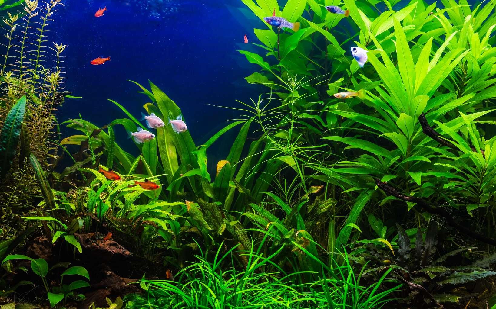 plante aquarium eau douce